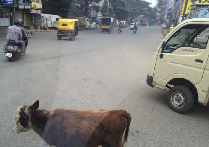 Bangalore-cow