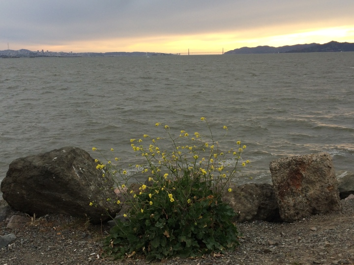 berkeley-marina-mustard-flower